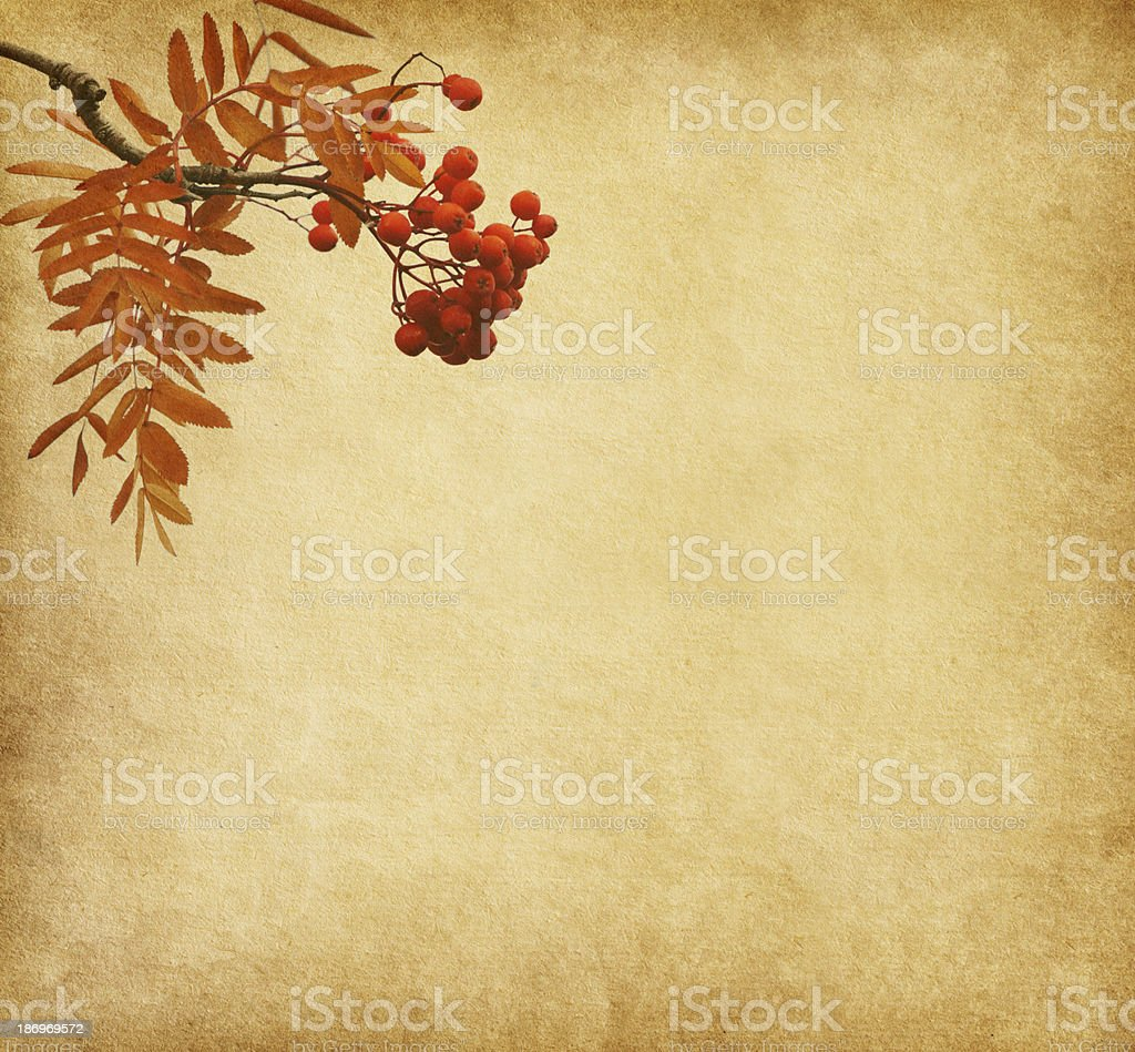 Old paper with the berries of a Rowan tree. stock photo