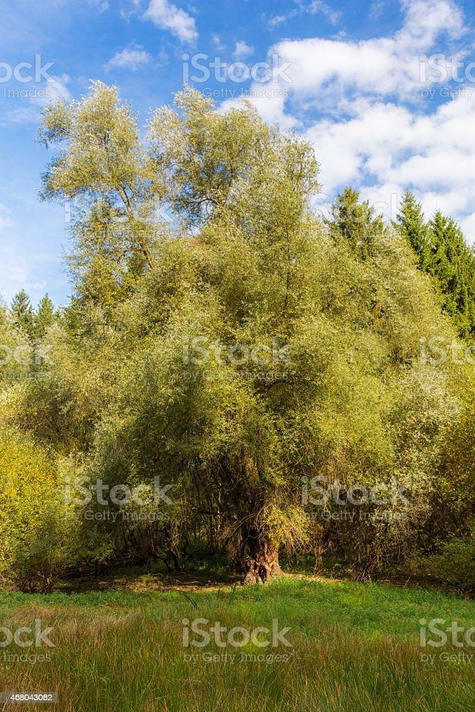 Alte Weide stock photo