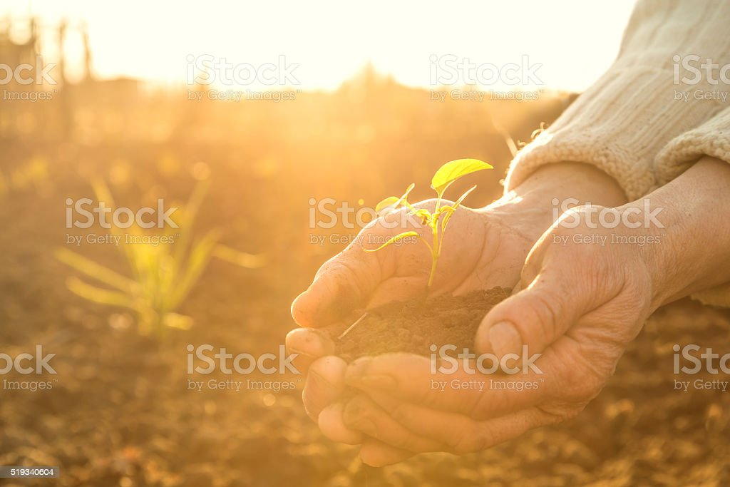 Old Peasant Hands holding green young Plant in Sunlight Rays stock photo