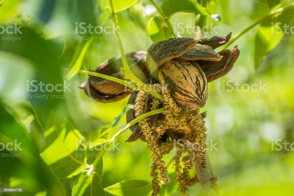 Old pecan cluster after pollination, among new summer leafs stock photo