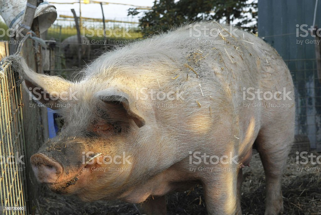 Old pig stock photo
