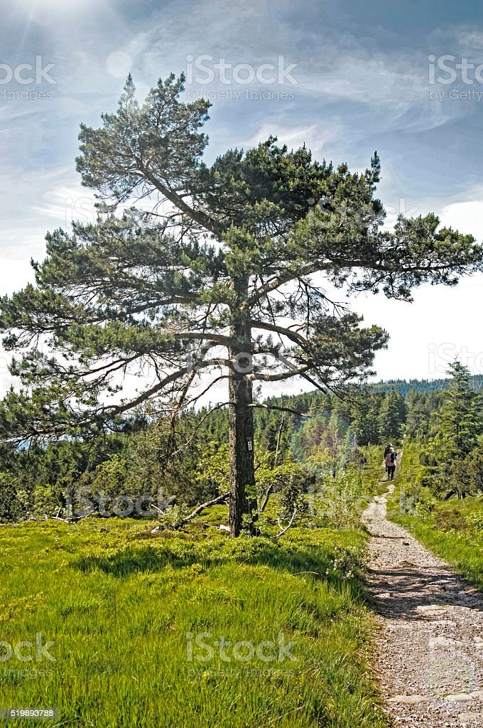 old pine tree on the trail stock photo