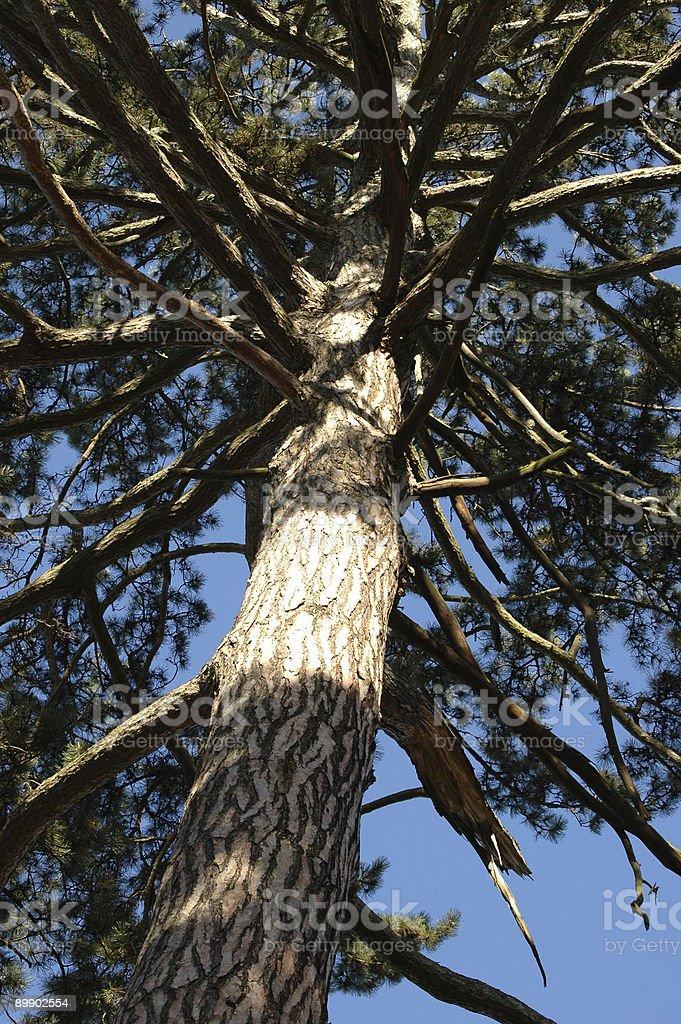 old pine tree royalty-free stock photo