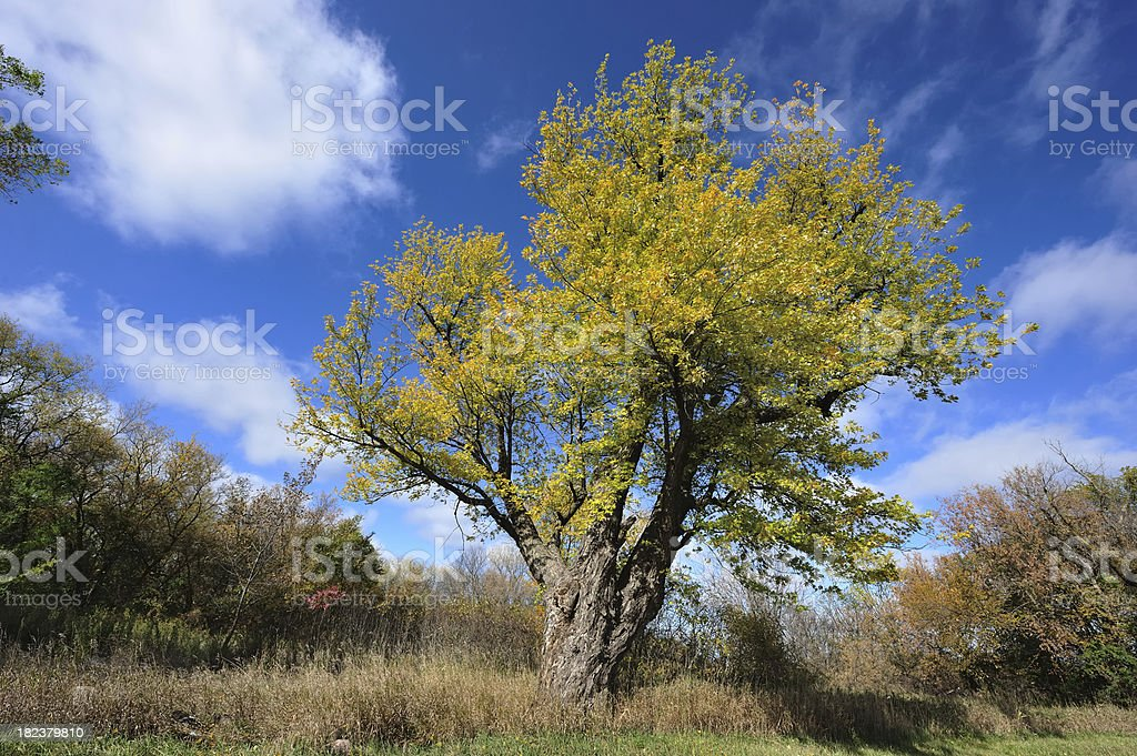 old poplar tree with early autumn leaves royalty-free stock photo
