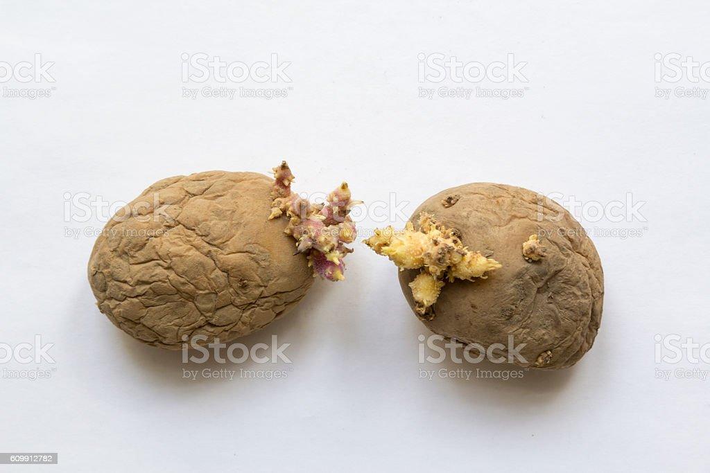 Old potatoes stock photo