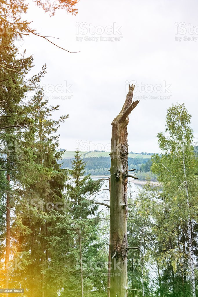 Old pruned tree trunk stock photo