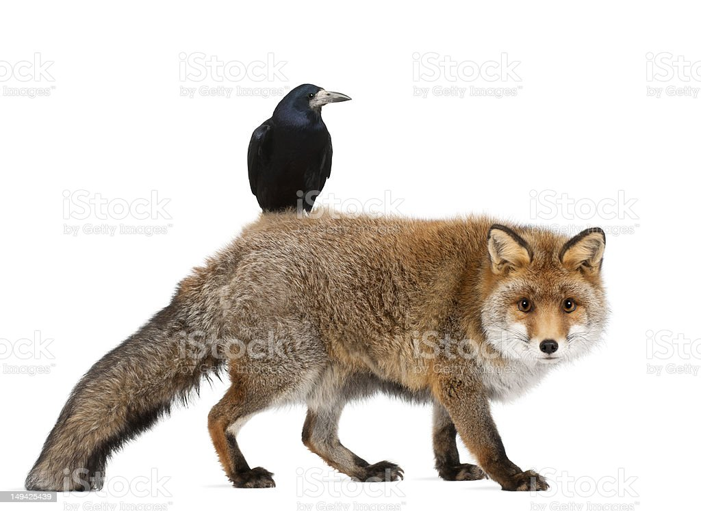 Old Red fox and Rook royalty-free stock photo