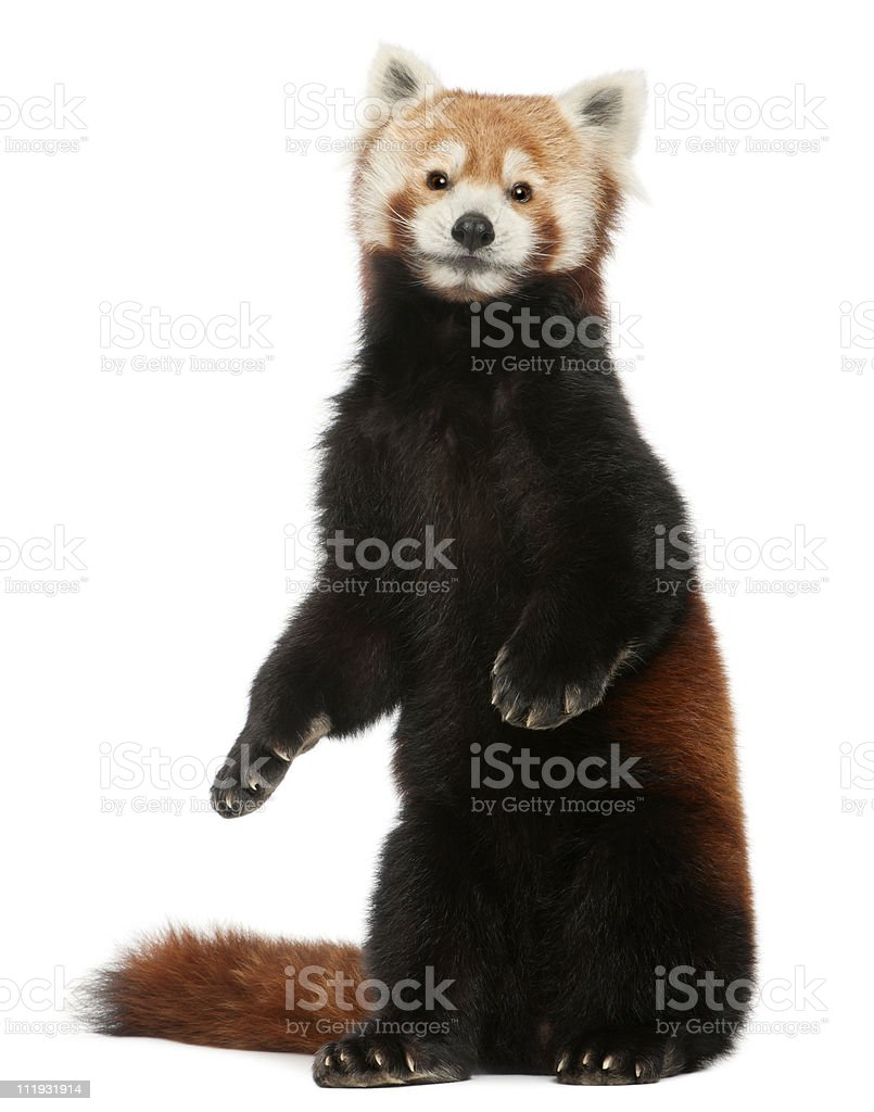 Old Red panda or Shining cat, white background. stock photo