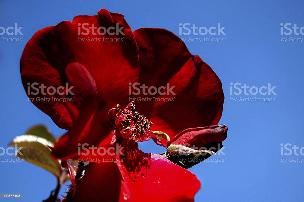 Old Red Rose royalty-free stock photo