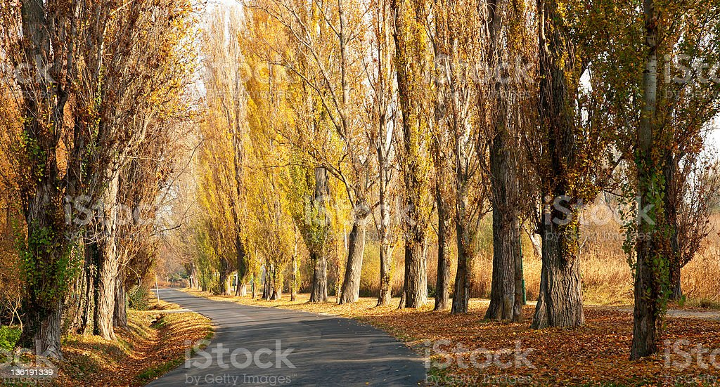 Old road leads across the autumn poplar lined royalty-free stock photo
