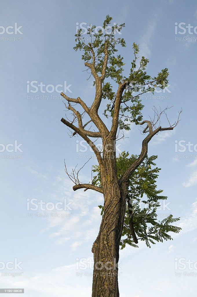 Old robinia stock photo