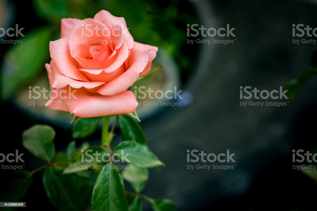 Old rose color rose on blurred background stock photo