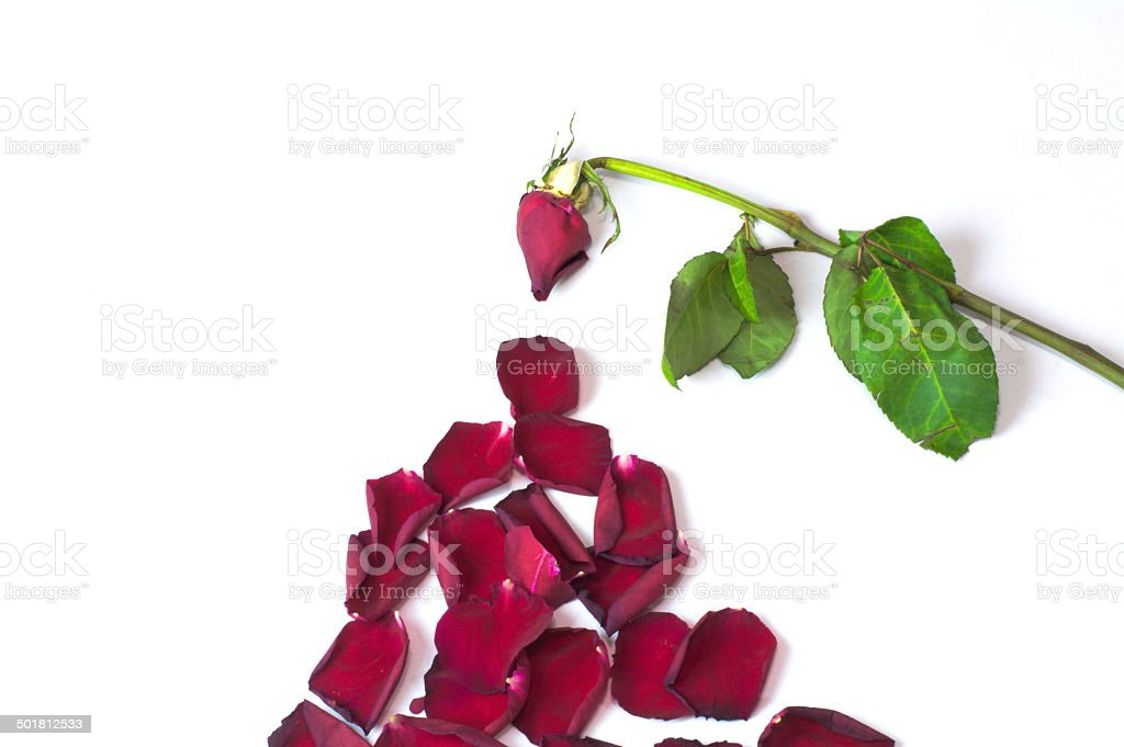 Old rose fallen leaves stock photo