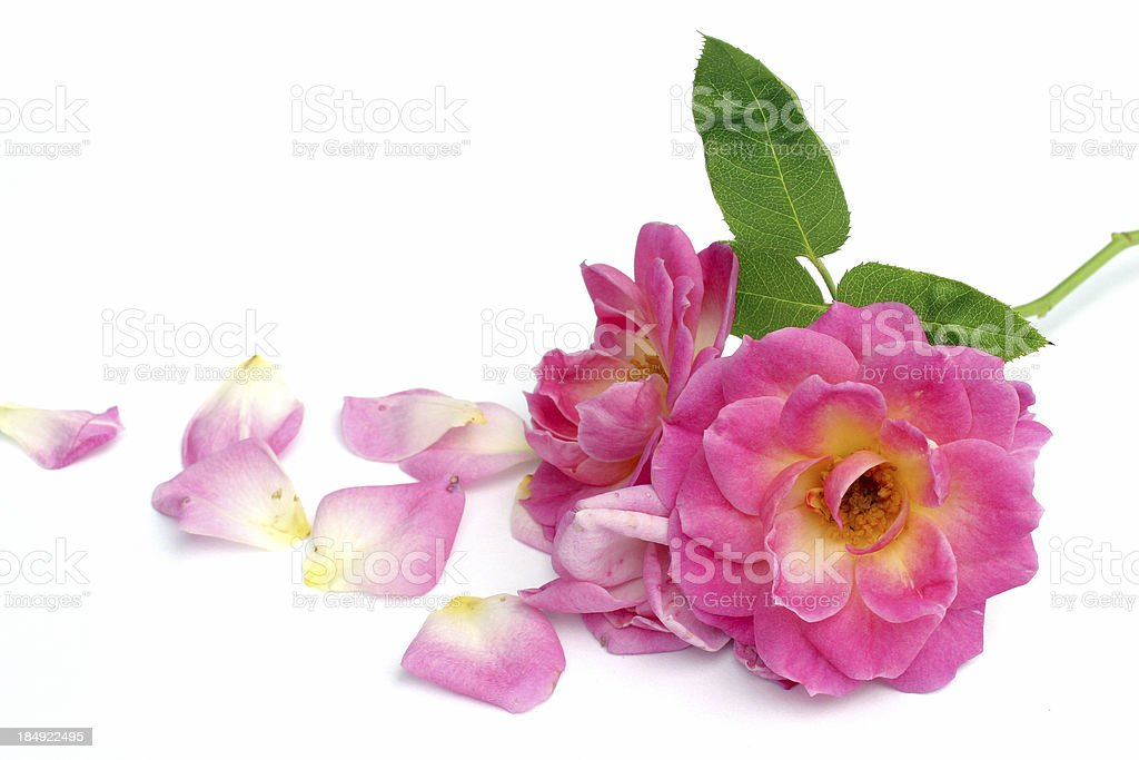 Old rose royalty-free stock photo