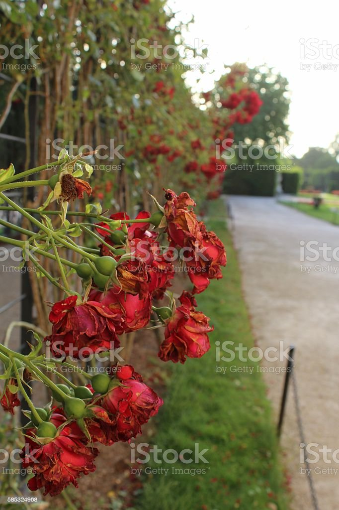 Old roses - Stock Image stock photo