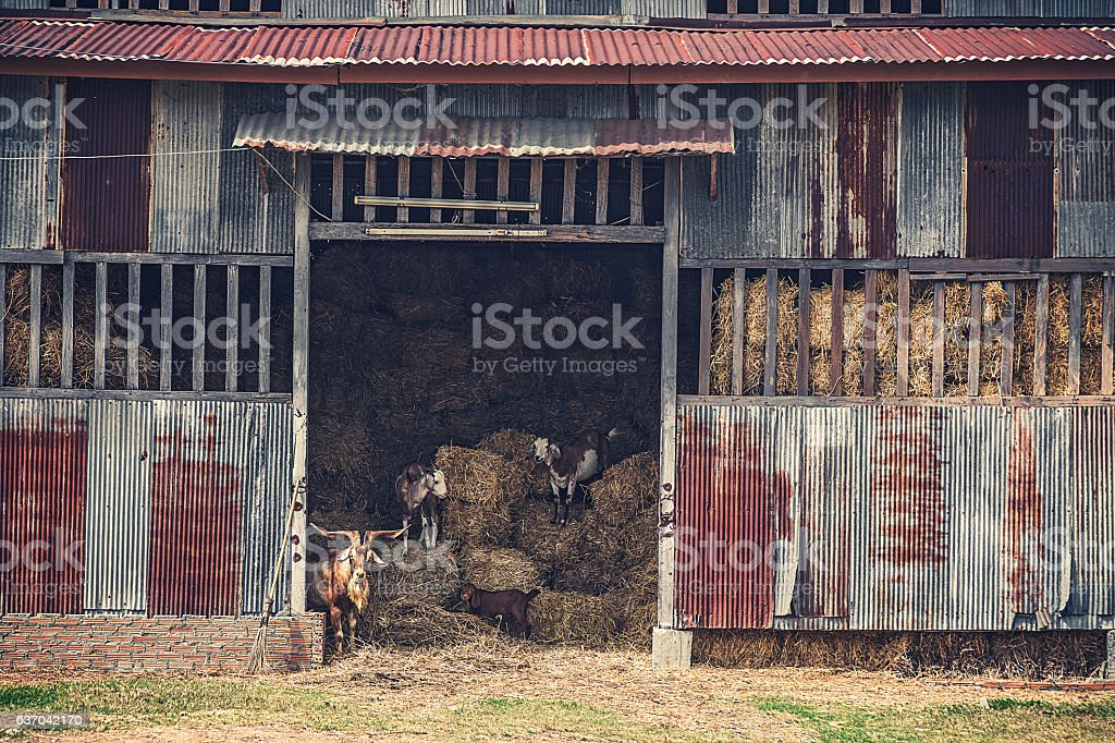 old rustic hay barn with goats stock photo