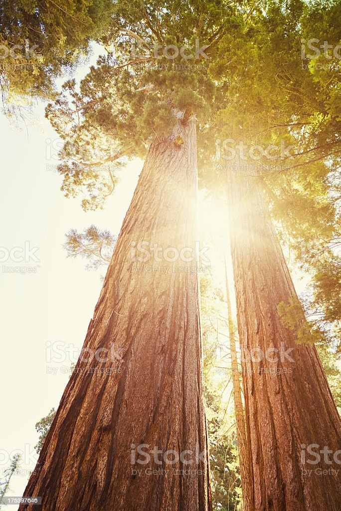 Old Sequia in the National Park tree - California stock photo