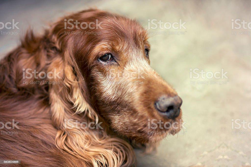 Old setter dog stock photo