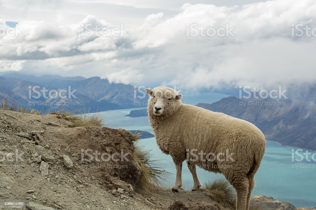 Old sheep stands on a mountain ridge above lake stock photo