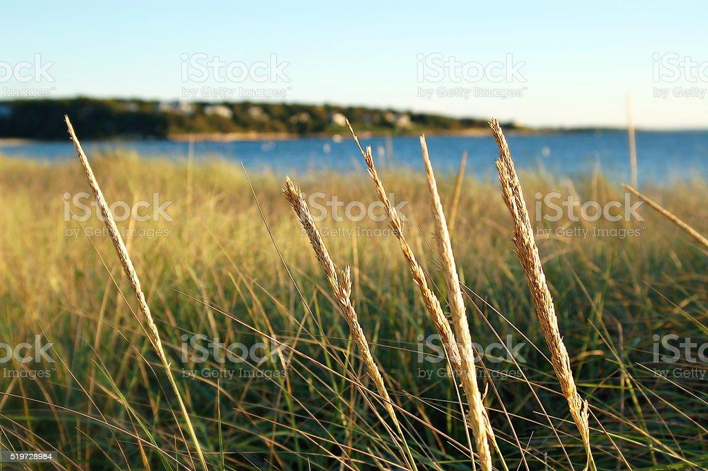 Old Silver Beach Grass stock photo