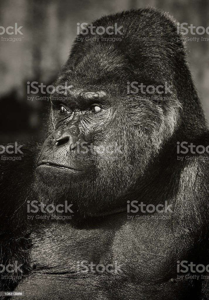 Old Silverback Gorilla royalty-free stock photo