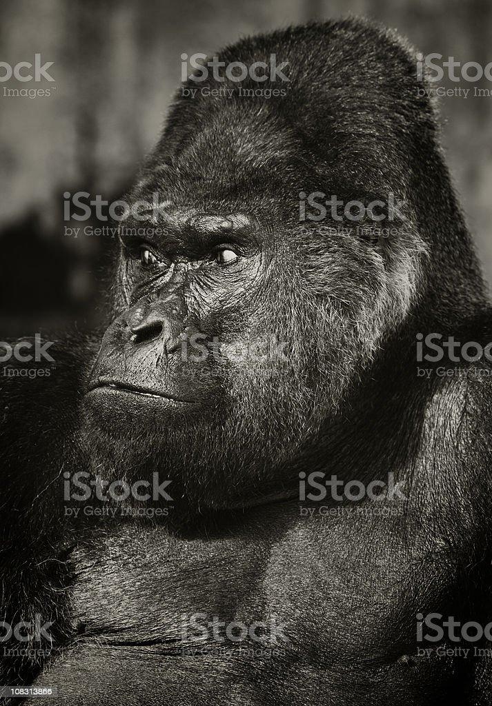 Old Silverback Gorilla stock photo