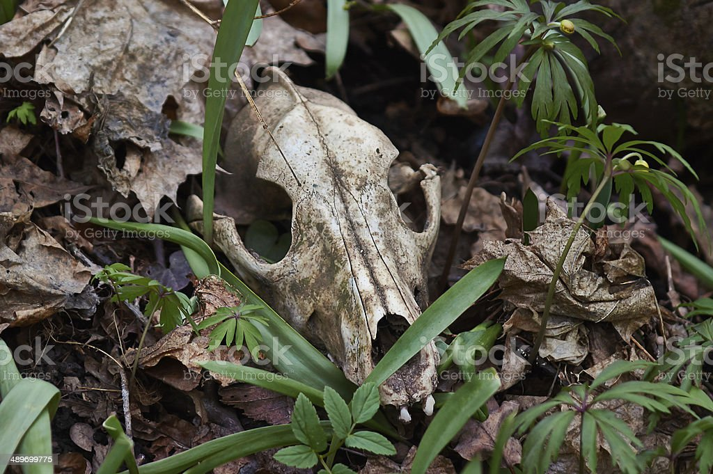 Old skull of a predator. royalty-free stock photo
