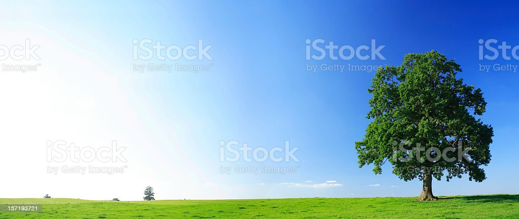 Old Solitary Oak on Pasture in Summer Landscape royalty-free stock photo