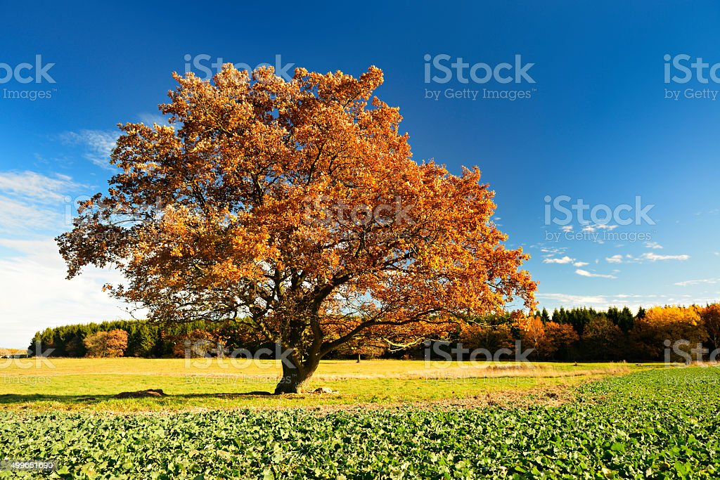 Old Solitary Oak Tree in Autumn Landscape against Blue Sky stock photo