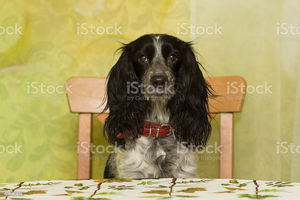 Old spaniel breed dog sits on a chair stock photo