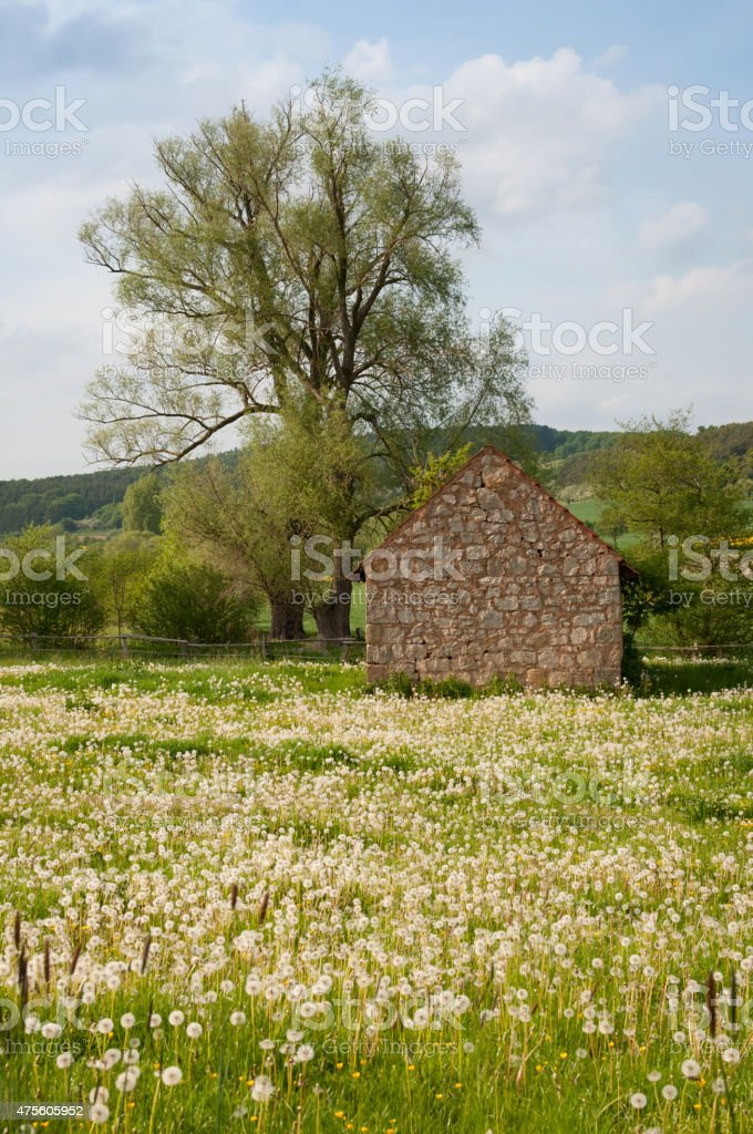 Old stone cottage in a field of dandelions. stock photo