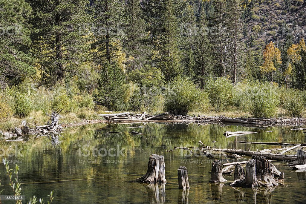old stumps in a beaver pond stock photo