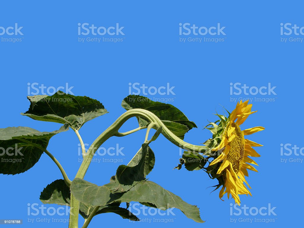 Old sunflower against vivid blue sky royalty-free stock photo
