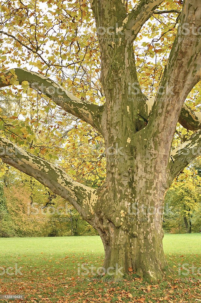 Old sycamore tree royalty-free stock photo
