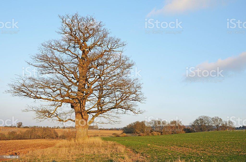 Old tall bare oak tree on field royalty-free stock photo
