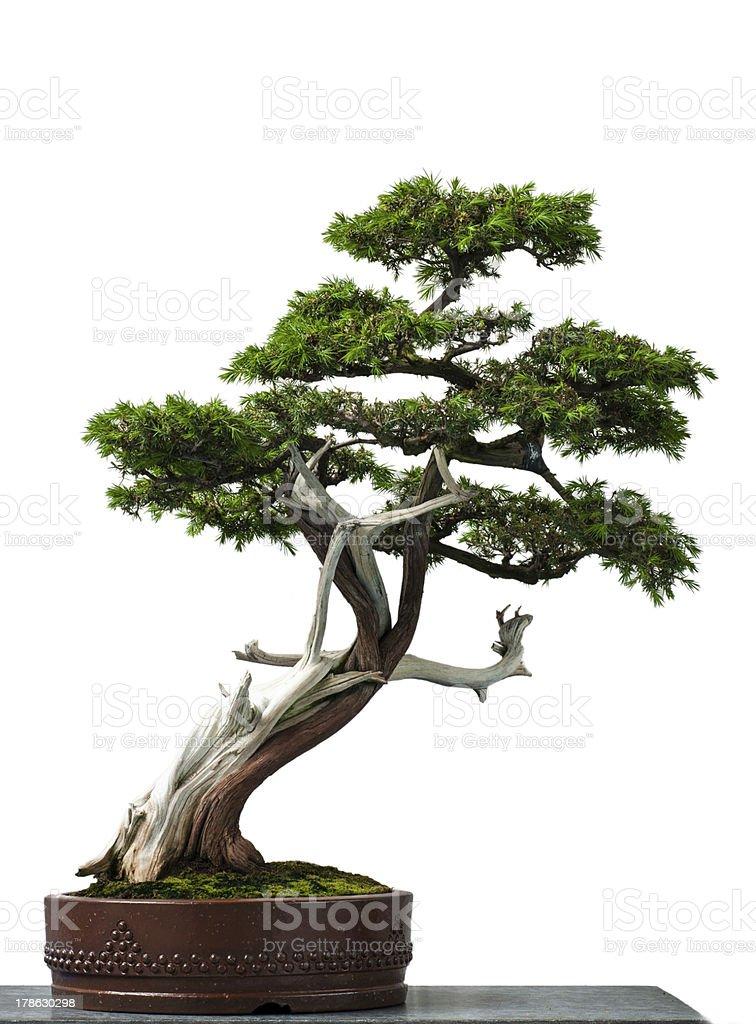 Old temple juniper as bonsai tree stock photo
