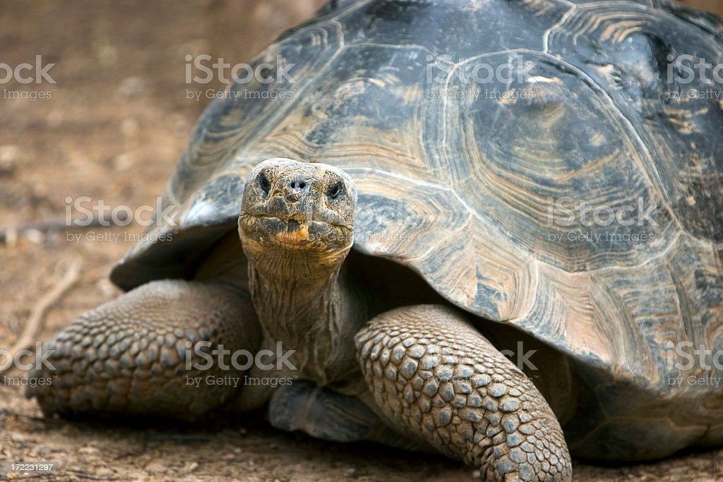 Old tortoise walking on dirt looking at camera royalty-free stock photo
