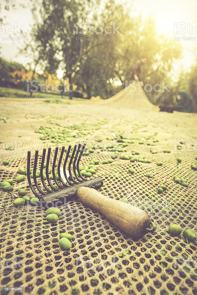 Old Traditional Olives Harvesting Tools royalty-free stock photo
