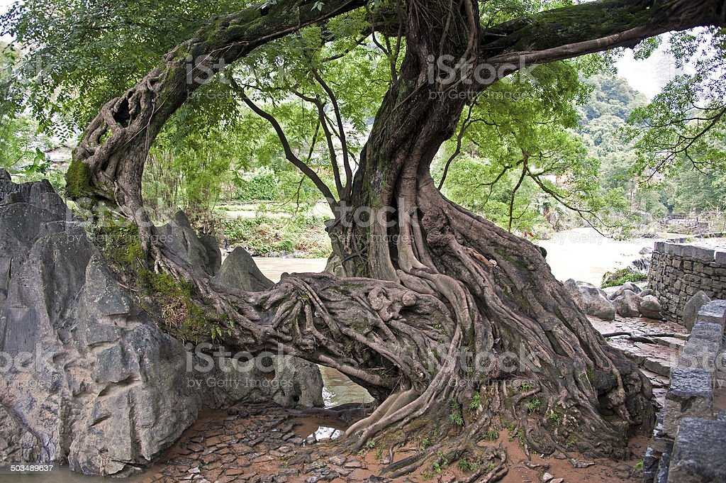 Old Tree at Huang Yao, Chinese village stock photo