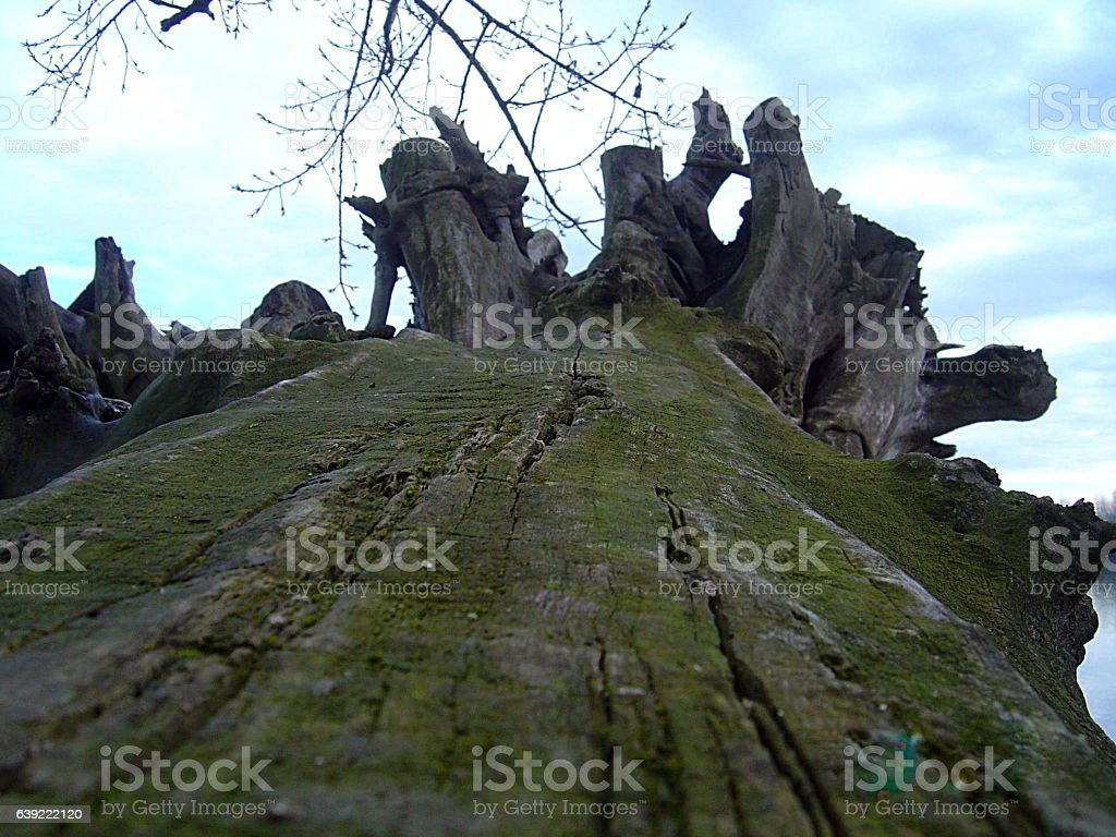 Old tree by the river stock photo