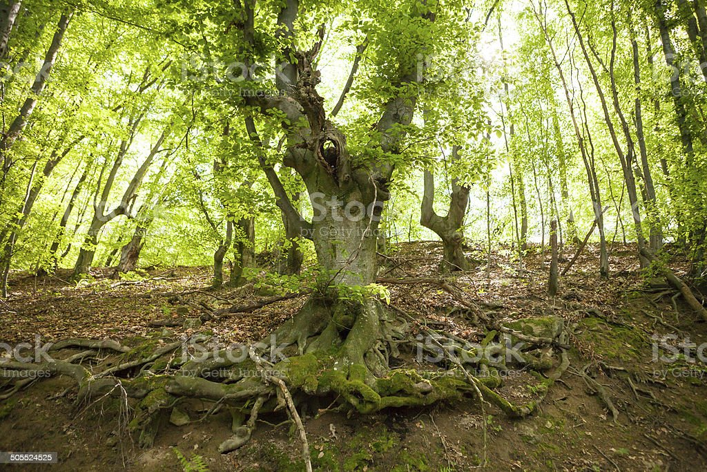 Old tree in forest stock photo