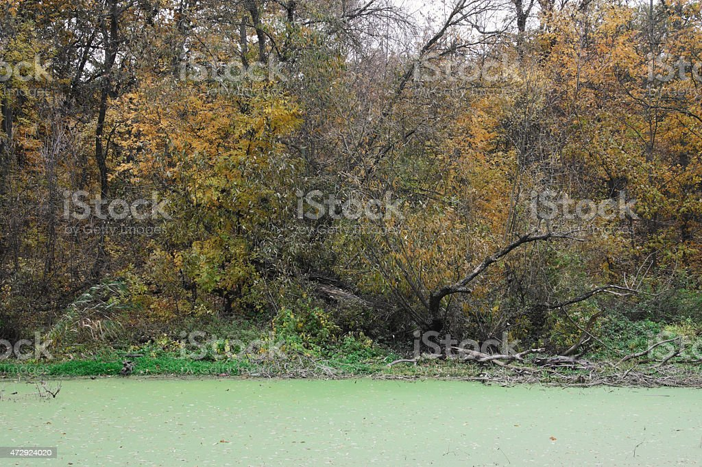 Viejo árbol en Morass foto de stock libre de derechos