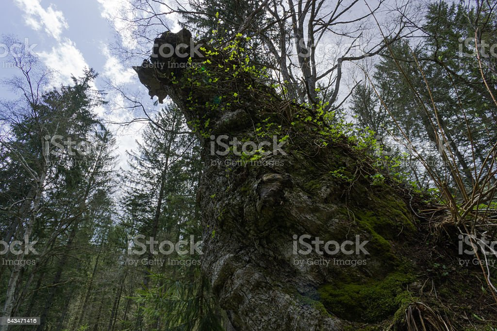 Old tree in the forest stock photo