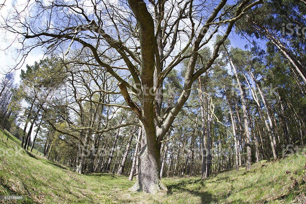 Old tree, Müritz Nationalpark, Germany stock photo