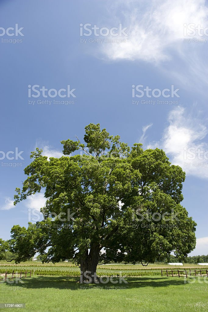 Old tree on a farm royalty-free stock photo