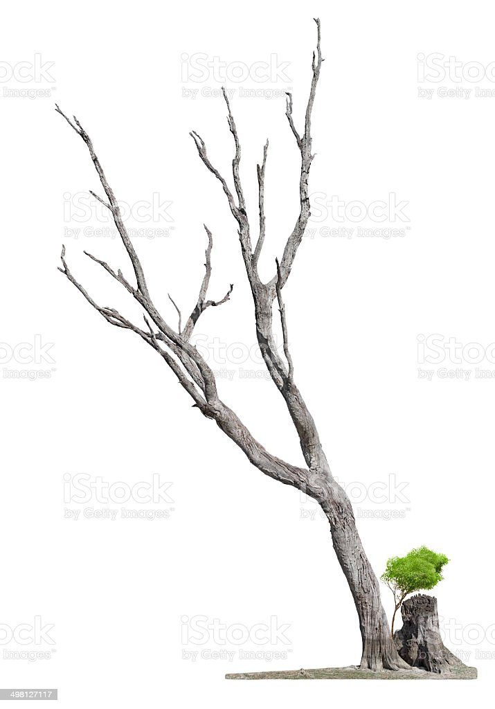 Old tree on white background.Concept death and life revival stock photo