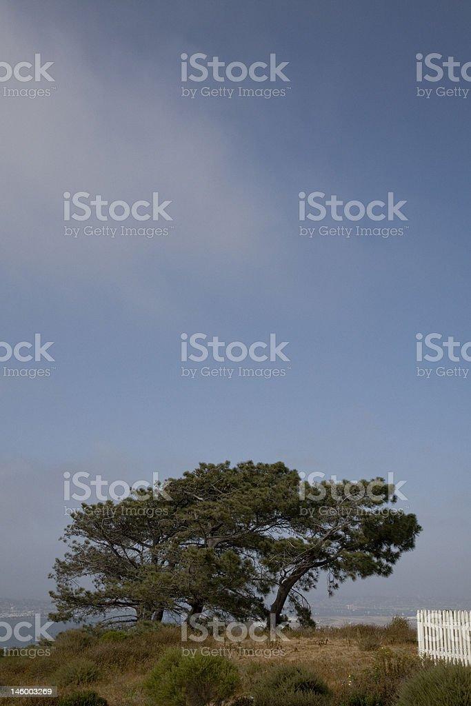 Old Tree Overlooking San Diego Harbor stock photo