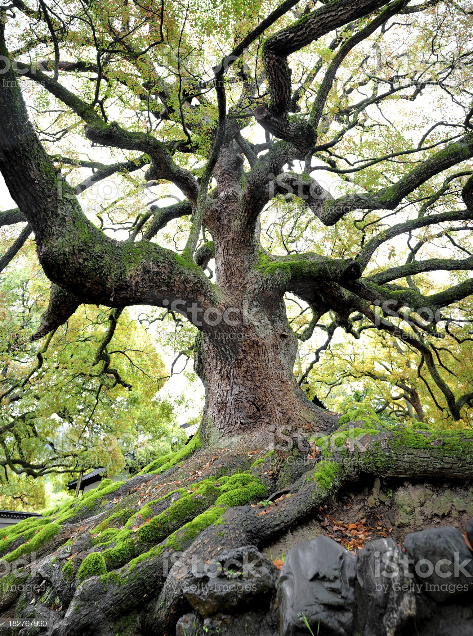 old tree royalty-free stock photo