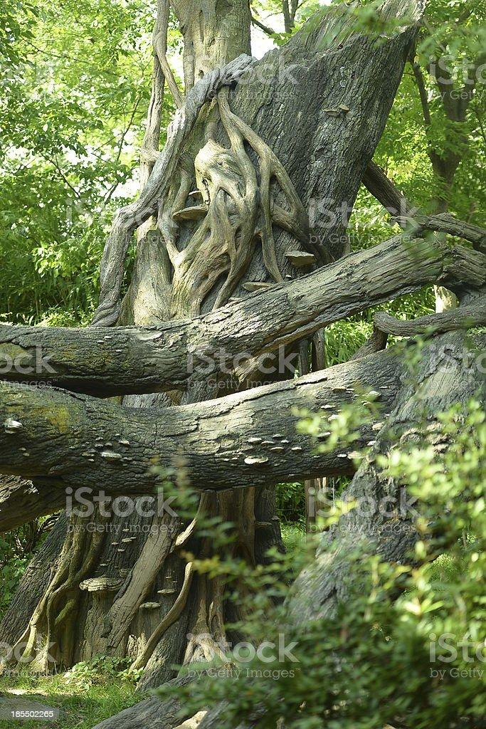 Velha Árvore foto de stock royalty-free