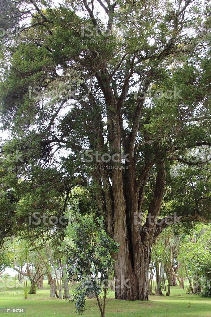 Viejo árbol foto de stock libre de derechos